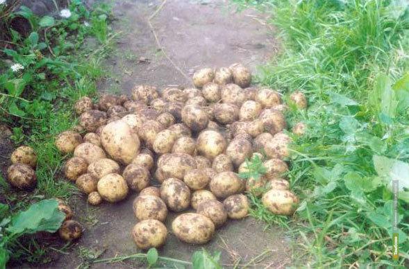 Петербуржцы будут есть тамбовскую картошку