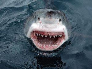 Акул-людоедов в Приморье будут отлавливать рыбаки