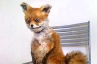 Упоротый лис едет в Петербург на выставку