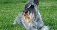 Американская собачка чуть не упала в обморок, увидев хозяйку через два года после расставания