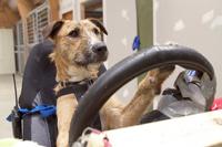 В Новой Зеландии собак отправили учиться на права