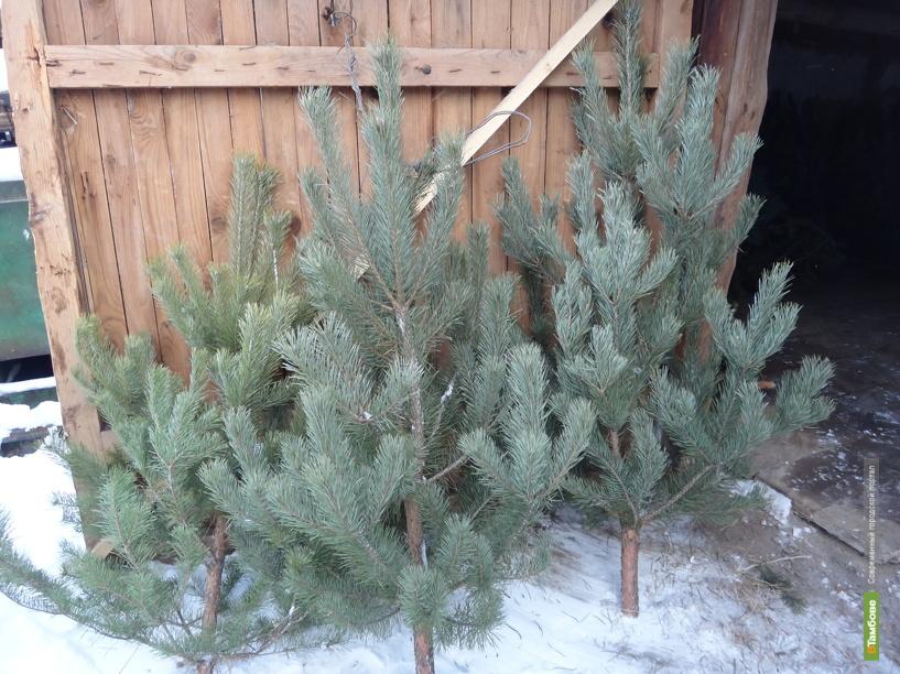 На Новый год на Тамбовщине срубят 35 с половиной тысяч сосен