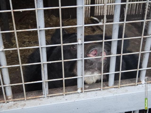 Тамбовские мишки не хотят отправляться в зимнюю спячку