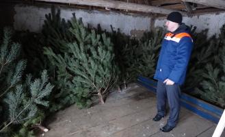 В Тамбовской области на продажу выставят 42 тысячи живых новогодних деревьев