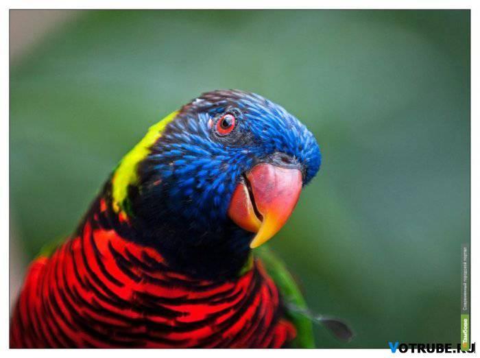 Пьяные попугаи снова падают с деревьев в Австралии