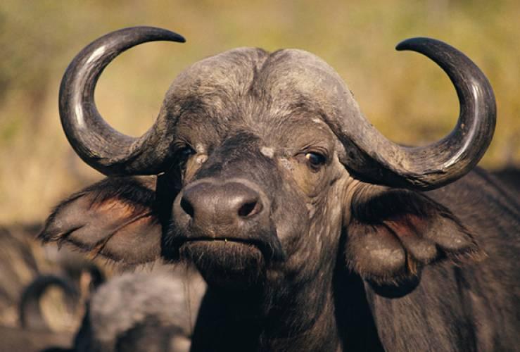 Индия готова поставлять в Россию буйволятину и рыбу