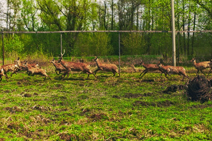 У предприятия за долги арестовали 50 оленей
