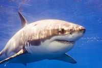 Биологи нашли генетические сходства человека и акулы