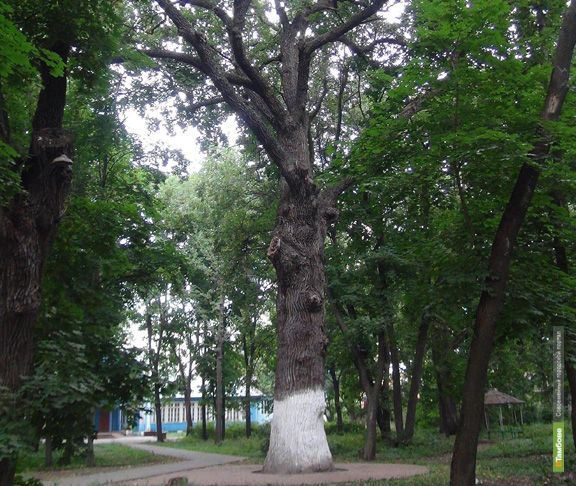 Дуб Асеевской усадьбы может стать деревом-памятником