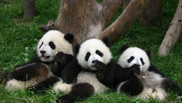 Результаты матчей ЧМ по футболу будут предсказывать панды