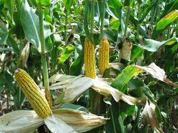 На Тамбовщине станут активнее выращивать «царицу полей»