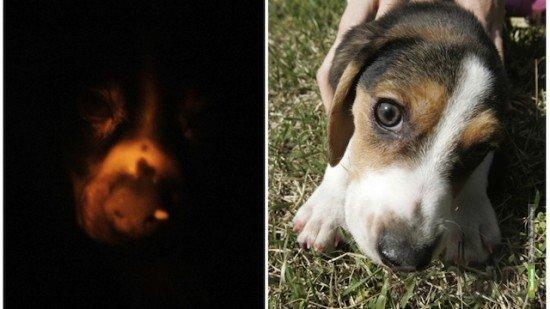 Ученые вывели светящуюся собаку, которая поможет лечить людей