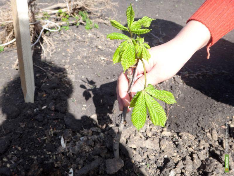 На севере Тамбова высадят новые деревья