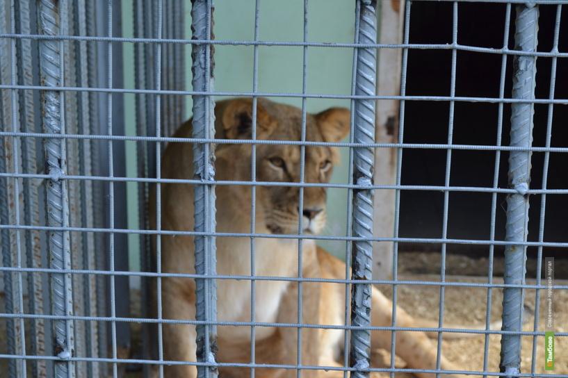 Дело о нападении льва на девочку направили в суд