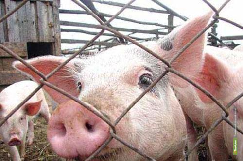 Африканская чума свиней подбирается к Тамбову