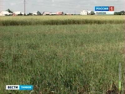 Град побил посевы на Тамбовщине