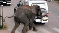 В Индии полсотни пьяных слонов устроили дебош