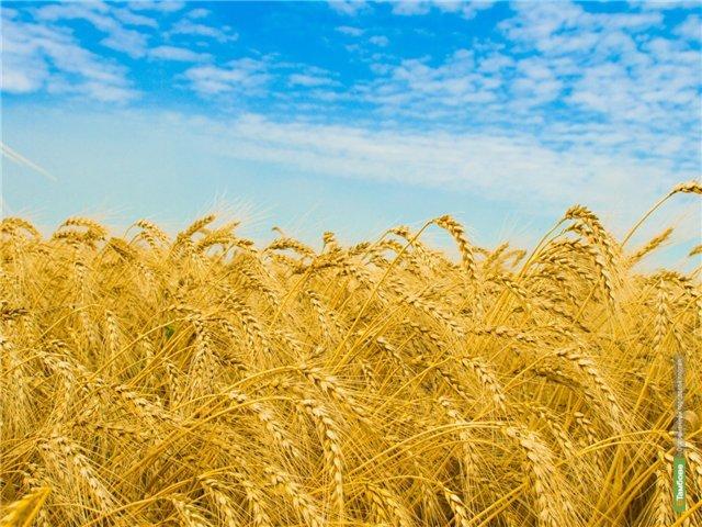 В Тамбовской области собрали почти миллион тонн зерна