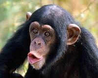 Шимпанзе и орангутаны страдают от кризиса среднего возраста