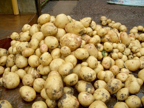 Тамбовчанка выкапывала картошку на огороде односельчанки