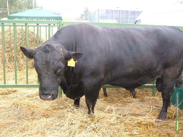 На Тамбовщине стали разводить шотландских коров