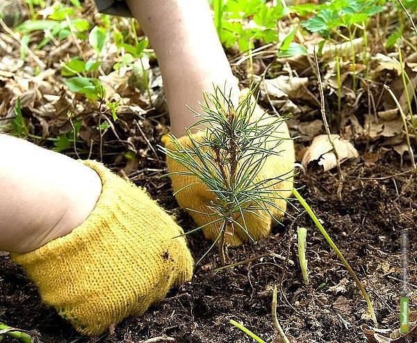 В Тамбове посадили 100 гектаров леса взамен сгоревшего