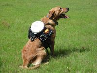 Ученые создали систему дистанционного управления собаками