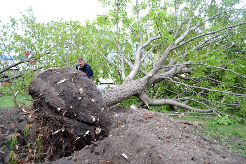 Деревья с Соборной площади «переселяют» в район парка Победы