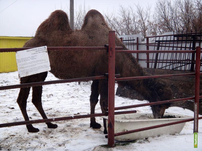 В зоопарке ТГУ появился верблюд по имени Олимпиада