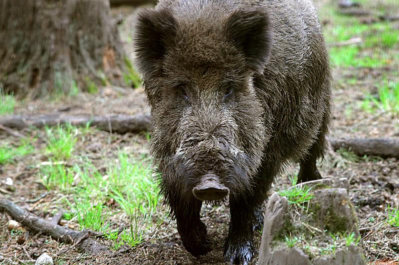 В области ввели ограничения для охотников за кабанами