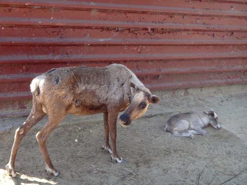 В Петровском районе нашли северных оленей