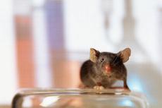 Биологи нашли белок, продлевающий жизнь самцам