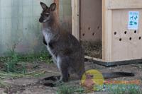 Кенгуру, которого в барнаульском зоопарке считали самцом, родил