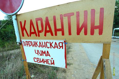 На выкуп свиней у тамбовчан уже потратили 1 миллион 200 тысяч рублей
