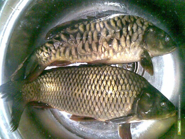 Бокинский рыбхоз обеспечит тамбовчан качественным карпом