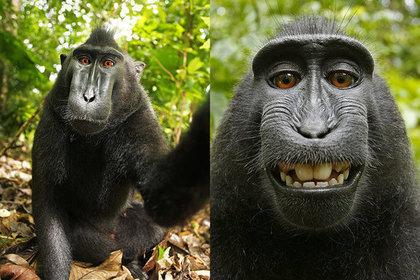 Англичанин хочет засудить Wikimedia за размещенную «себяшку» обезьяны