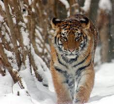 В Приморье Амурский тигр напал на человека