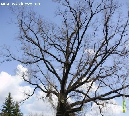 Мичуринскому дубу официально присвоят статус «дерево-памятник»