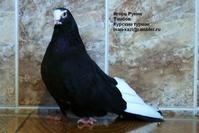 Тамбовские голуби — лучшие в мире