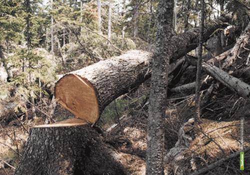 На Тамбовщине вырастут штрафы за незаконную вырубку леса