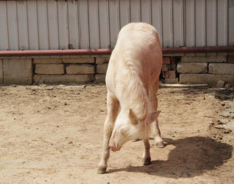 В зоопарке ТГУ родилась редкая белоснежная пони