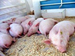 Тамбовские свинофермы будут отапливать отходами