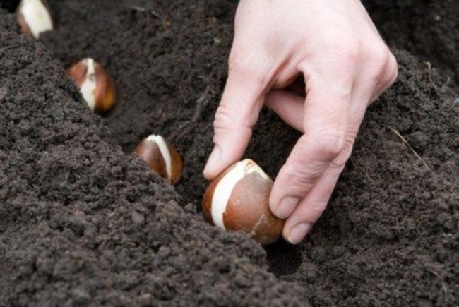 Осенью в Тамбове посадили более 300 тысяч луковиц тюльпанов
