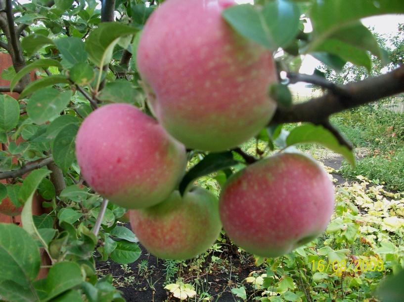 Тамбовчане хотят посадить на аллее России яблоню