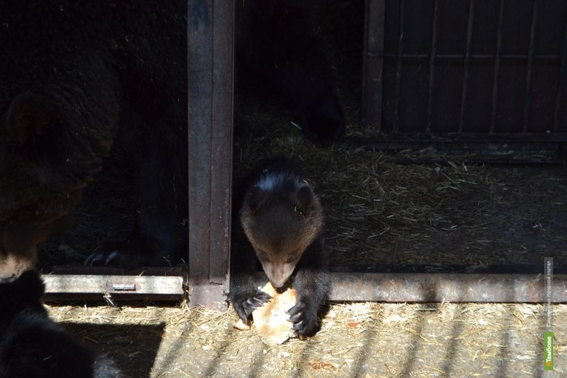 Новорождённые медвежата из зоопарка ТГУ уже выходят на ...: http://vtambove.ru/news/freetime/127144/