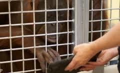 Орангутангам в зоопарке Торонто подарят планшетники