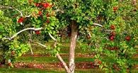 Молодые ребята украли из сада 10 мешков яблок