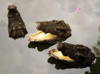 Во Вьетнаме школьников отправили на каникулы из-за побега крокодилов