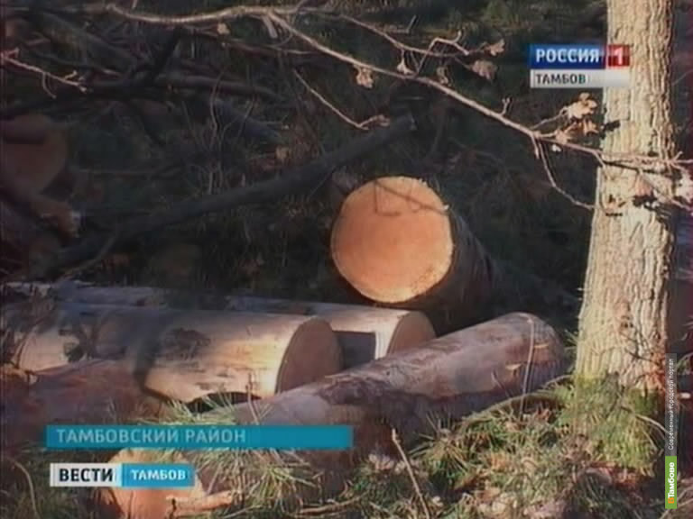 «Черные» лесорубы уничтожили 31 полуторавековое дерево в Притамбовье