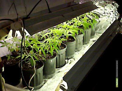 Тамбовчанин выращивал дома «чудо-траву»